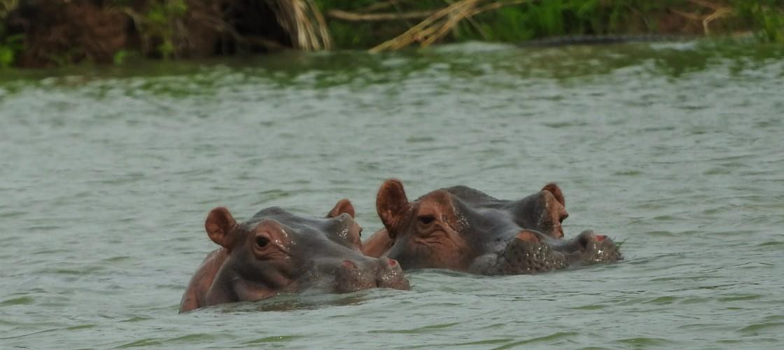 Hippos Gambia